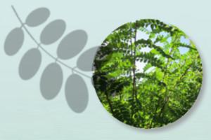 Robinienruten aus nachhaltiger Ernte
